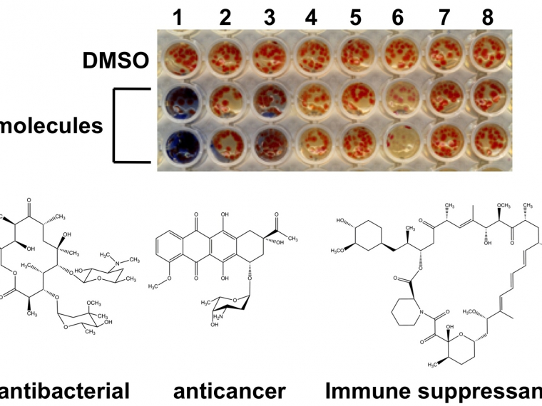 Many drugs (bottom) are produced by environmental bacteria however the pathways that generate these molecules tend to be dormant in the laboratory. By screening for chemicals that induce these pathways (note the blue pigment production activated by compound 1 (top) investigators are seeking new drugs for diseases ranging from antibiotic resistant infections to currently untreatable cancers.