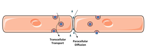 Figure 1. Two routes of endothelial permeability