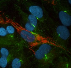 Primary cilia (green) project from differentiated hTert-RPE cells.