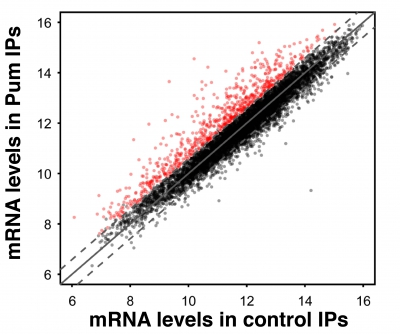The RNA-binding protein Pum was immunoprecipitated (IPed) from embryos with a synthetic antibody. mRNAs levels in the IPed material were then assayed using microarrays and these data were plotted on the y-axis. A similar quantification was done using a negative control antibody directed against a non- Drosophila protein and plotted on the x-axis. mRNAs that are significantly enriched in the Pum IP, which represent likely Pum-bound mRNAs, are highlighted in red. This experiment identified ~640 Pum target mRNAs.