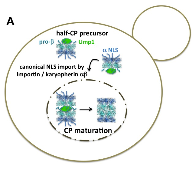 Figure 2. Nuclear import of CP precursor complexes (A) and RP modules (B) in dividing yeast cells. (For review see Enenkel, 2014).