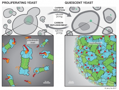 Figure 2: Model of proteasome dynamics between proliferating and quiescent yeast cells.