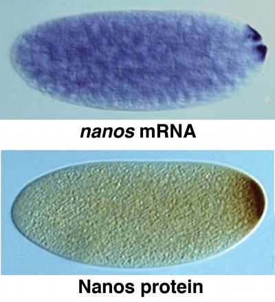 nanosmRNA_protein_distribution