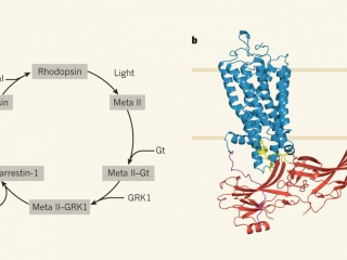 "News & Views ""Structural biology: Arresting developments in receptor signalling"" by Jeffrey Benovic."