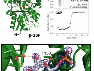 The periplasmic binding protein AfuA binds glucose-6-phosphate