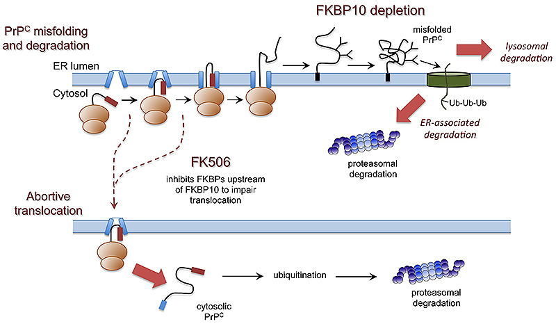 FK506 inhibits the FKBP family of peptidyl prolyl isomerases and results in abortive translocation and degradation of the cellular prion protein. Depletion of one FKBP, FKBP10, results in degradation of PrPC following its translocation into the ER.