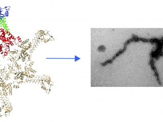 An image of bacterial chaperone.The molecular chaperone RavA forms amyloids at low pH and elevated temperatures.