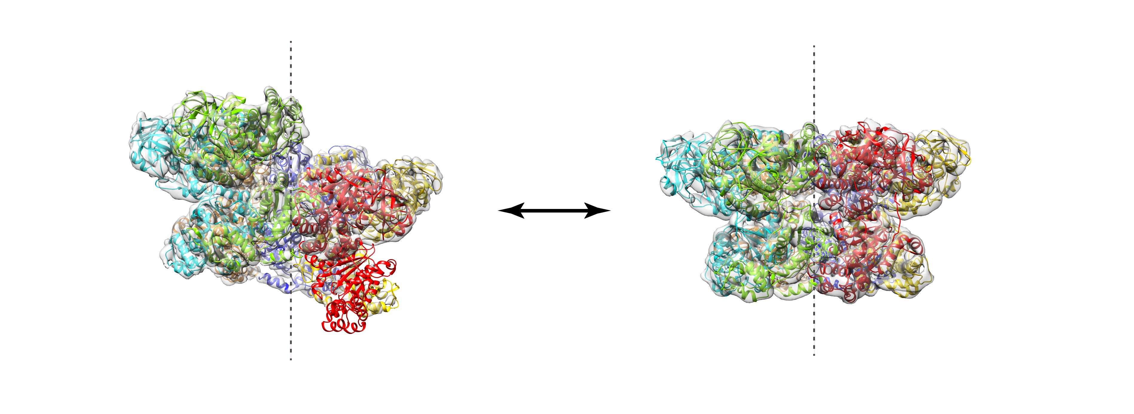 An image of models for two conformations of the AAA+ chaperone VAT, built into cryo-EM density maps.