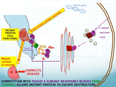 Mechanism of misfolded protein rescue.