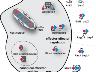 After release into the host cell, translocated bacterial substrates (effectors) regulate one another through several different functional interactions: indirectly, through counteracting modification of a shared host target, or directly through either steric complex formation or direct modification of one effector by another.