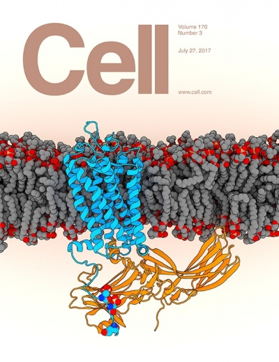 "G-protein-coupled receptors (GPCR) mediate a complex network of signalling through interaction with arrestins. A new structure of phosphorylated rhodopsin in complex with visual arrestin reveals insight into arrestin binding to the diverse GPCR proteome.  ""Cover image of Cell Volume 170, Number 3 Copyright (2017) reprinted with permission from Elsevier"""