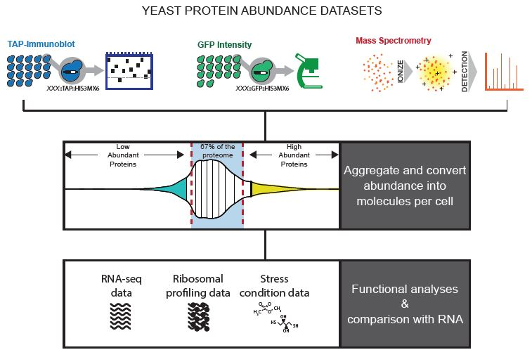 Yeast_Brown Lab