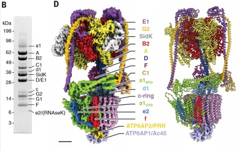 Mammalian V-ATPase