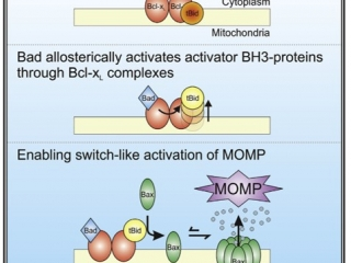 Activation of cell death by Bad.